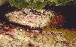 Abalone Picture